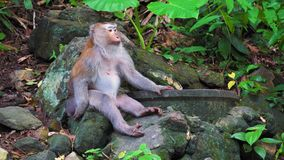 Wild monkey sits in the shade of a tropical jungle tree.  stock video