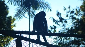 Wild Monkey sitting on top of former cage of several captive monkeys stock photography