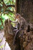 Monkey - Macacus mulatta Royalty Free Stock Images