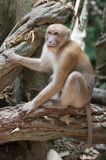 Wild monkey Royalty Free Stock Photo