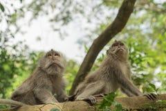 Wild monkey tree habitat nature wildlife Royalty Free Stock Photo