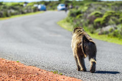 Monkey on the road. Wild monkey walking on road in the cape town national park Stock Image