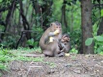 Wild monkeys eating people food Stock Photo