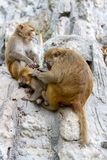 Wild monkeys family portrait cleaning sitting on the rock stock photo