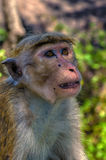 Wild monkeys Royalty Free Stock Photography