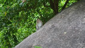 Wild monkeys jumping on trees and rocks in rainforest. PHANGAN, THAILAND. Wild monkeys jumping on rocks in rainforest stock video footage