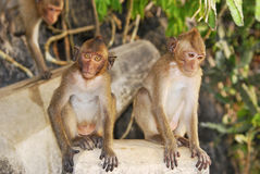 Wild monkeys in the jungle Royalty Free Stock Images
