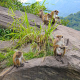 wild monkeys on the ledge Royalty Free Stock Image