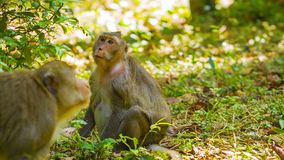 Wild monkeys - macaque in the forests of Cambodia. Video 1080p - Wild monkeys - macaque in the forests of Cambodia stock footage