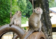 Wild monkeys Macaques crab-eaters closeup Stock Image