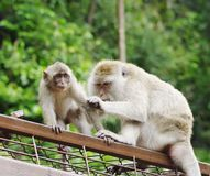 Wild monkeys Macaques crab-eaters (lat. Macaca fascicularis) closeup Stock Images