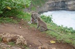 Wild monkeys. Sitting on the fence in Uluwatu, Bali, Indonesia Royalty Free Stock Image