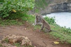 Wild monkeys. Sitting near the ledge in  Uluwatu, Bali, Indonesia Stock Images