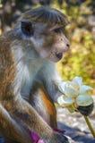 Wild monkeys temples in Asia Stock Photo