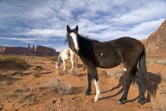 Wild in Monument Valley. Horses grazing in Monument Valley, Navajo tribal park,Utah stock photos