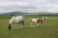 Wild Moorland  Ponies Stock Photo
