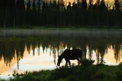 Wild Moose Stock Photos