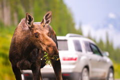 Wild Moose Royalty Free Stock Image