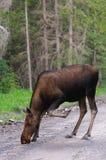 Wild Moose Stock Photography