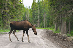 Wild Moose Stock Photo