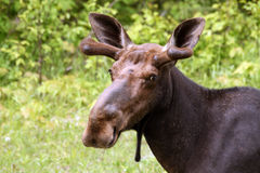 Wild moose. With blured green grass background Royalty Free Stock Image