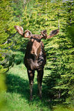 Wild Moose Stock Image