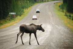 Wild Moose. Crossing a gravel road, Kananaskis Country Alberta Canada Royalty Free Stock Photography