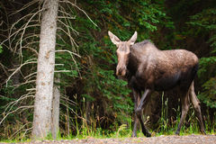 Wild Moose Stock Photography