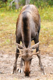 Wild Moose Royalty Free Stock Images