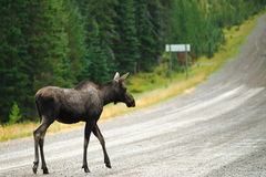 Wild Moose Stock Images