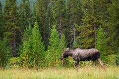 Wild Moose Royalty Free Stock Photography