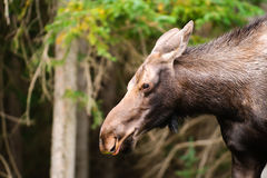 Wild Moose Royalty Free Stock Photo
