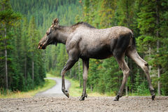 Wild Moose Royalty Free Stock Photos