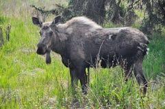 Wild moose, Alaska Stock Image