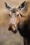 Wild Moose (Alces alces) Royalty Free Stock Image