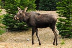 Wild Moose (Alces alces) Stock Photo
