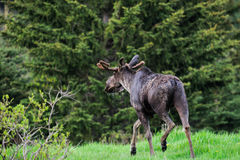 Wild Moose (Alces alces) Stock Photos