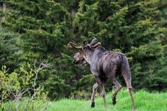 Wild Moose (Alces alces) Stock Photos