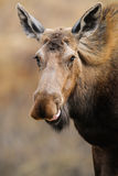 Wild Moose (Alces alces) Stock Images