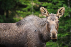 Wild Moose (Alces alces) Stock Photography