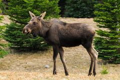 Wild Moose (Alces alces) Royalty Free Stock Photo