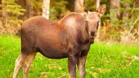 Wild Moose Cow Calf Animal Wildlife Marsh Alaska Greenbelt stock video
