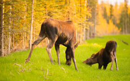Wild Moose Cow Calf Animal Wildlife Marsh Alaska Greenbelt. Moose come out to get a drink before receeding back into the brush and trees Royalty Free Stock Images