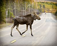 Wild Moose Royalty Free Stock Photo