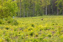 Wild moose in forest Stock Photos