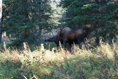 Moose with her calf in the forest stock photo