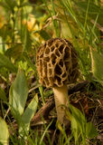 Wild Morel. Photograph of a wild Morel mushroom found in a spring time forest Stock Photo