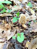 Wild morel mushroom on forest floor. Oak leaves, sticks and stones, new spring growth in New York State surround the beige fleshy honeycomb cap of the royalty free stock images