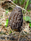 Wild Morel Mushroom in the Forest Stock Photography
