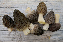 Wild Morels Just Picked Stock Photography